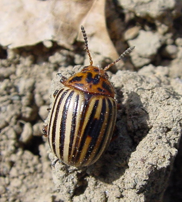 May 14: Harvest Monday & Colorado Potato Beetles